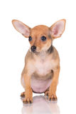 Red russian toy terrier puppy Stock Images