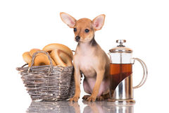 Red russian toy terrier puppy Stock Photo
