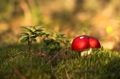 Red russula Stock Photography