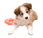 Red (sable) border collie puppy. Sable color border collie puppy isolated on white Royalty Free Stock Photo