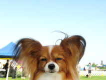 Red Sable Papillon Dog At A Dog Show Royalty Free Stock Photography