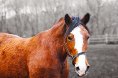 Red sad horse. Royalty Free Stock Images