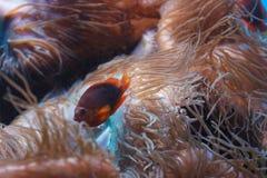 Red saddleback anemonefish, Amphiprion ephippium stock image