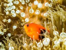 Red saddleback anemonefish in the Anemone. Underwater picture of Red saddleback anemonefish in the Anemone royalty free stock images