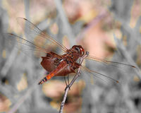 Red saddlebag dragonfly. Red saddlebags dragonfly holding on to branch with wings outspread showing off the beautiful red on it's wings Royalty Free Stock Image