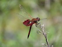 Red Saddlebag Dragonfly on the Thin Branch Royalty Free Stock Photography