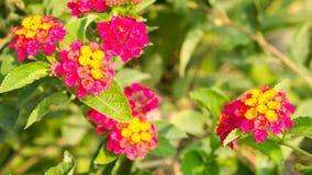 The red sage; Lantana camara L., Beautiful flowers Royalty Free Stock Photos