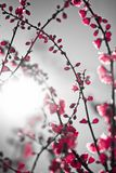 Red sakura Royalty Free Stock Photos
