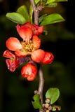 Red sakura flower. In the garden around Moscow Royalty Free Stock Photo