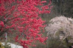 Blood Red Sakura Tree. Red Sakura Tree in Spring, Around Lake Kawaguchi near Fuji, In distance is classic pink sakura royalty free stock photography