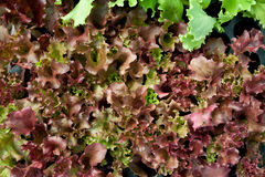 Red salad Stock Photo