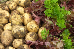 Red salad, green parsley and young potatoes close up Royalty Free Stock Photos