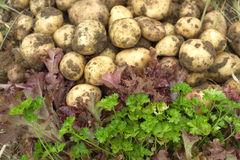 Red salad, green parsley and young potatoes close up Royalty Free Stock Image