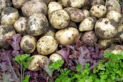 Red salad, green parsley and young potatoes Stock Photos
