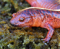 Red Salamander stock photo