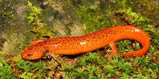 Red Salamander (Pseudotriton ruber) Royalty Free Stock Photos