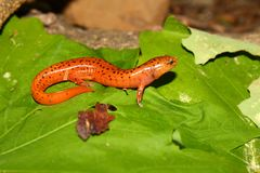 Red Salamander (Pseudotriton ruber) Stock Photo