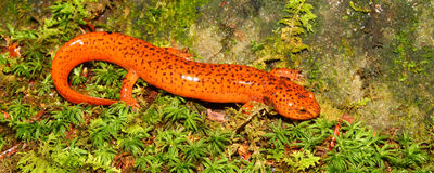 Red Salamander (Pseudotriton ruber) Royalty Free Stock Photos