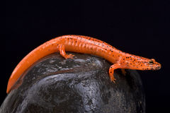 Red salamander (Pseudotriton ruber) Stock Photography