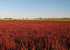 Red salicornia europaea plantation growing on the salt marshland, scenic natural background. Ustrychne lake beach in stock images