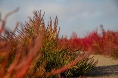 Red Salicornia. Green and red Salicornia europaea growing in the desert royalty free stock photo