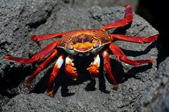 Red sally lightfoot crab on black lava, Galapagos Stock Photos