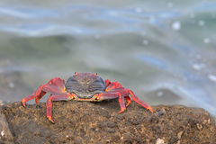 Red Sally Lightfoot crab Royalty Free Stock Photography
