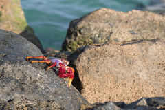 Red Sally Lightfoot crab. On a rock Stock Image