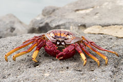 Red Sally Lightfoot crabs Royalty Free Stock Photo