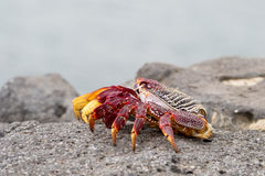 Red Sally Lightfoot crabs. On a rock Royalty Free Stock Photography