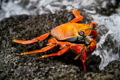 Red sally lihgt foot crab on a rock Galpagos Stock Photos