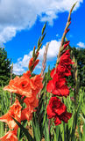Red and salmon colored gladiolus flowers in field Royalty Free Stock Images