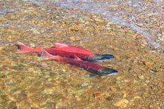 Red salmon Stock Photos