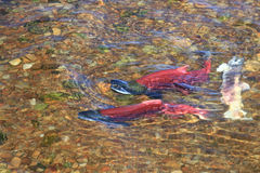 Red salmon Stock Images
