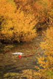 Red Salmon in the strawberry river. Royalty Free Stock Photos