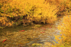 Red Salmon in the strawberry river. Royalty Free Stock Photo