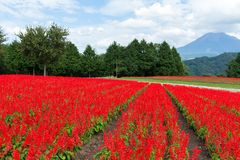 Red Salvia farm. Beautiful landscape at outdoor stock images
