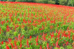 Red Salvia farm. Outdoor beautiful scenery landscape stock photography