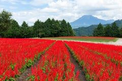 Red Salvia field stock photo