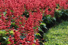 Red Salvia Flower. In the garden Stock Photo