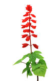 Red salvia flowers Royalty Free Stock Photos