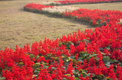Red salvia Royalty Free Stock Photography