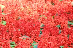 Red salvia splendens royalty free stock images