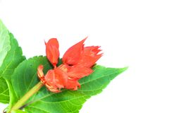 Red Salvia white background in studio. Red Salvia flower so beautiful close up stock image