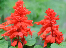 Red Salvias background Stock Images