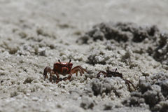 Red Sand Crab Royalty Free Stock Photos