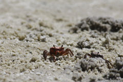 Red Sand Crab Stock Image