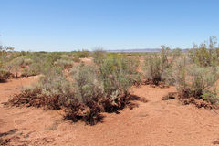 Red sand desert bush. Red sand desert with dry deadand green bush tree in sunset light, clear blue sky with some clouds. Beautiful scenery, landscape of red Royalty Free Stock Photos