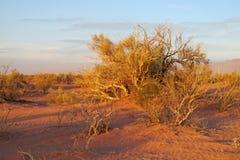 Red sand desert with bush in sunset light Stock Photos