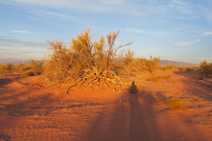Red sand desert with bush in sunset light Royalty Free Stock Photos